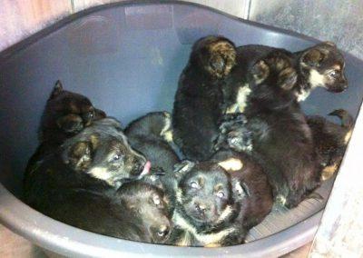 8 cuccioli (14122015) inc pastore tedesco